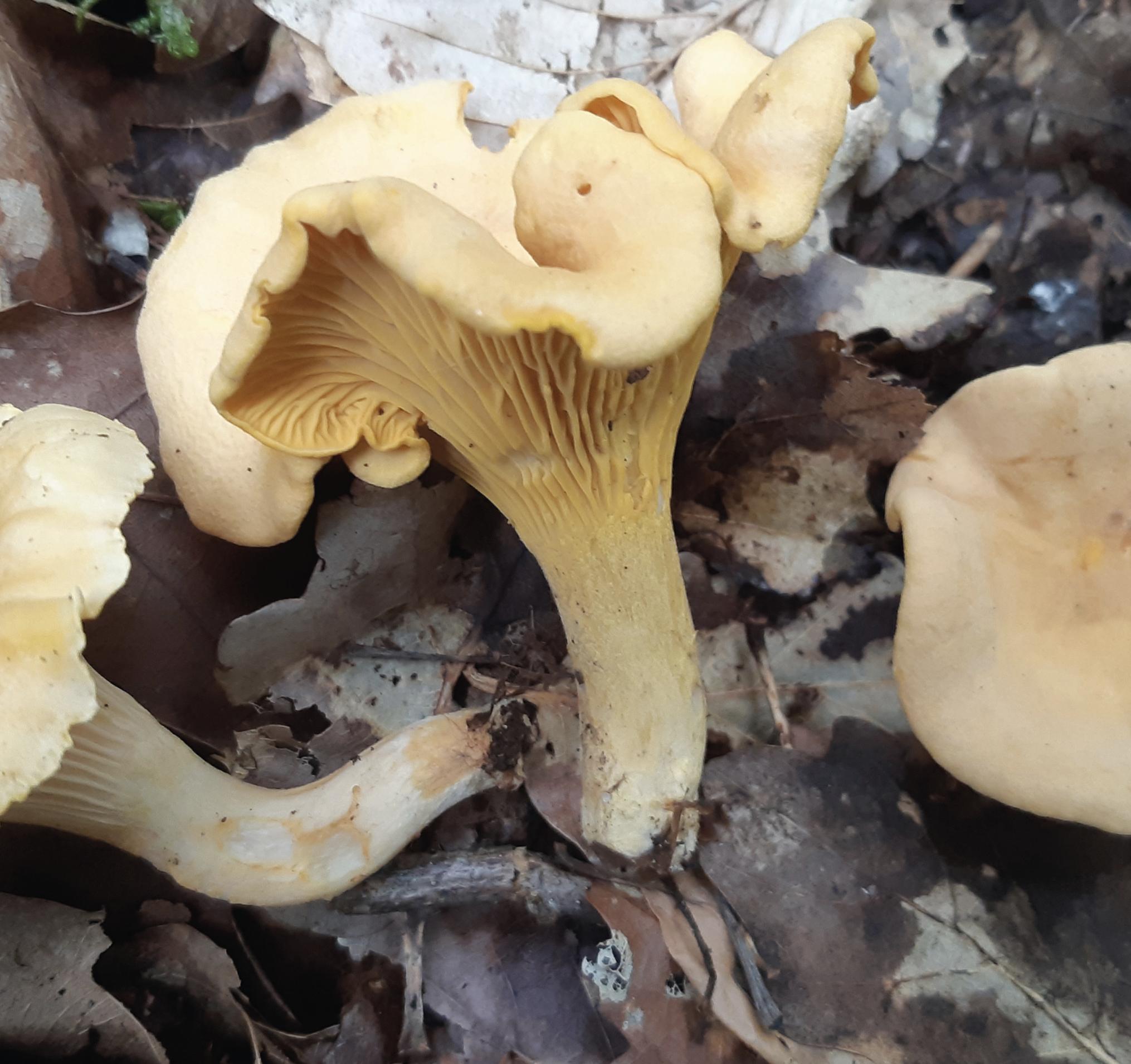 Précautions sur le champignon